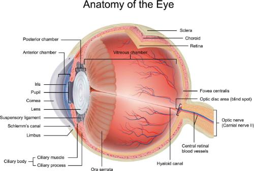 anatomia occhio 1 resized