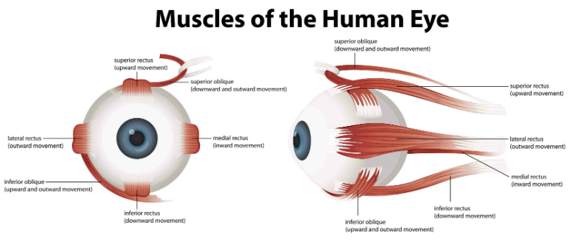 muscoli oculari 1 resized